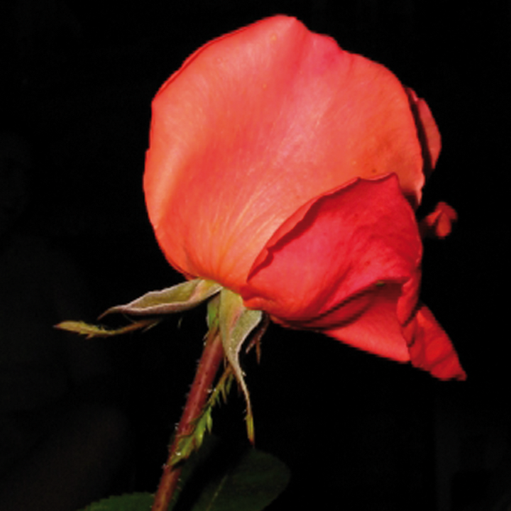 rose rouge hd
